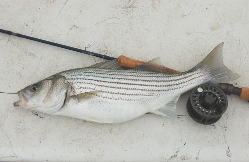 Canyon Lake striped bass on 8wt. flyrod