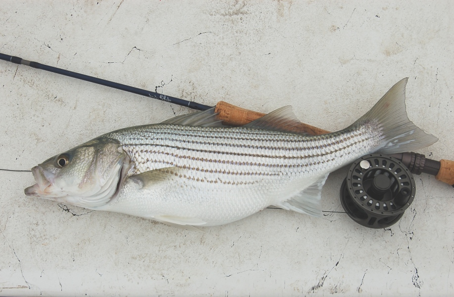 Canyon lake striped bass on 8wt flyrod for Striped bass fishing tips
