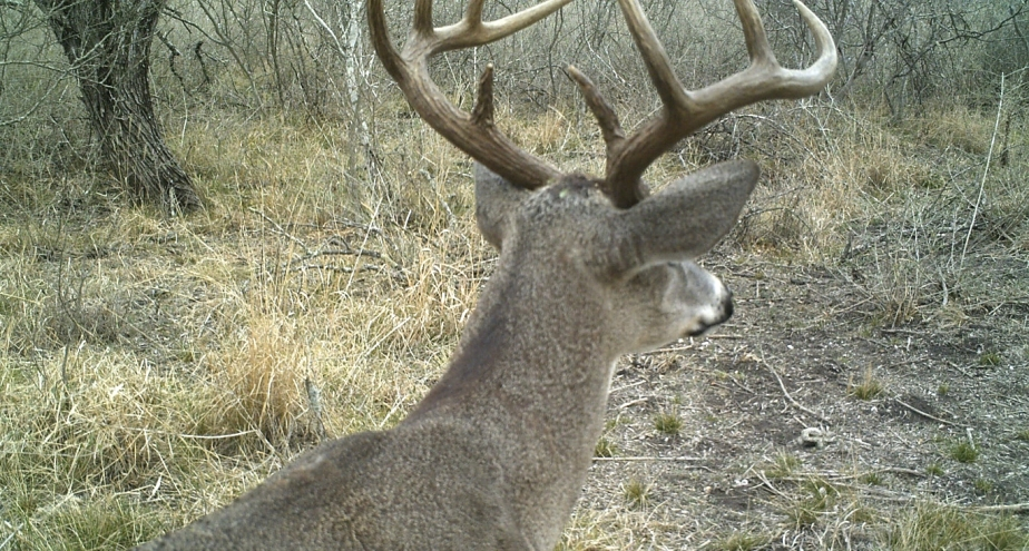 Whitetail Bucks Sleeping andFighting