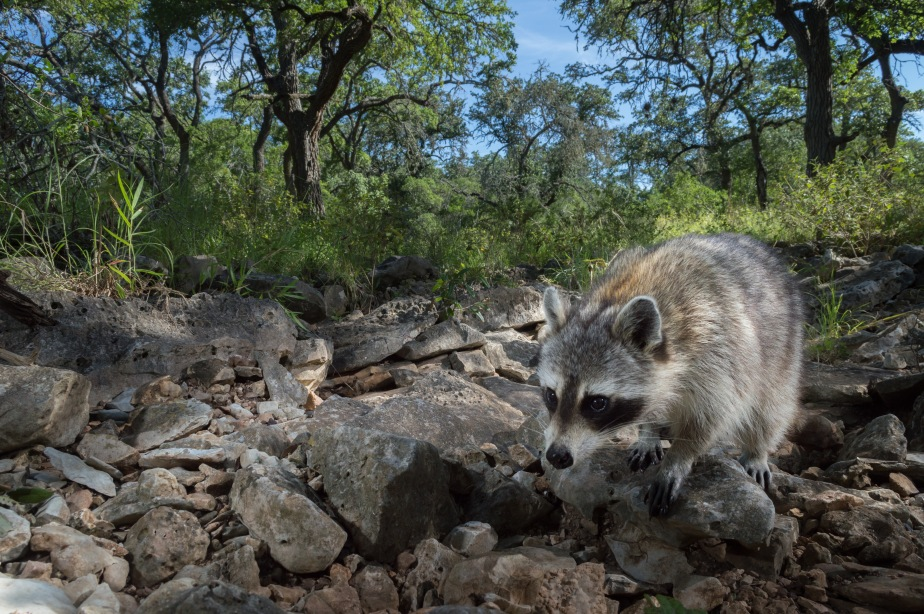 Scavenging Racoons