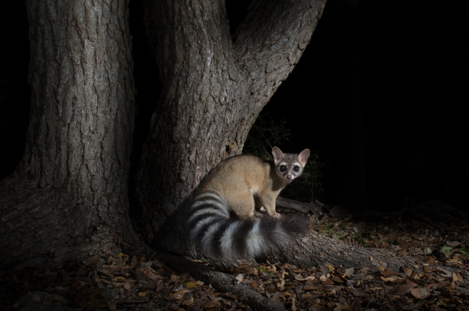 Ringtail against oak 2