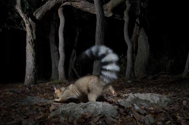 Ringtail searching under oaks