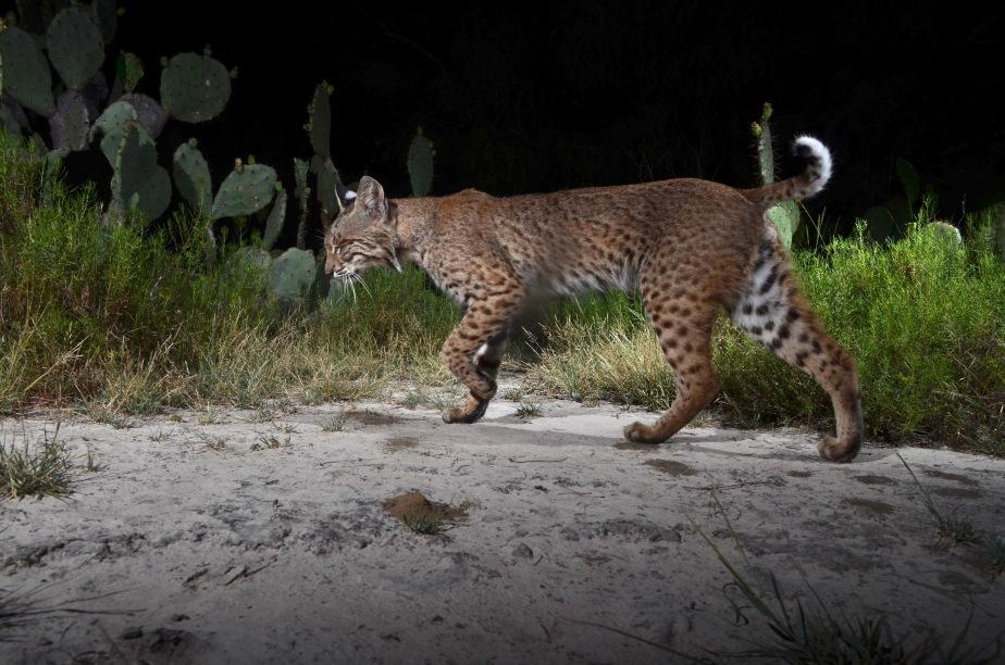 Bobcat sneaking