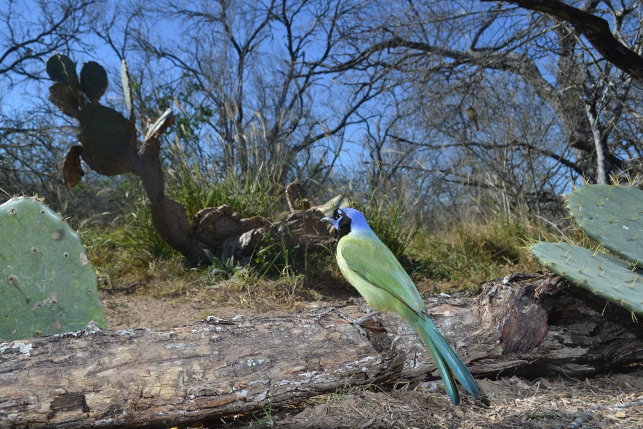 The Green Jay