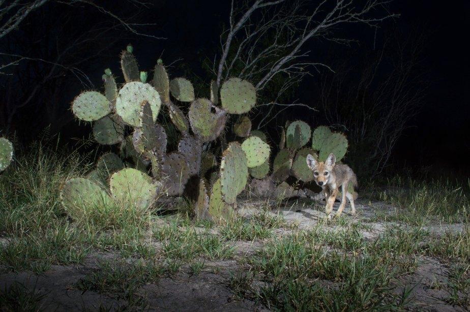 coyote pup-1