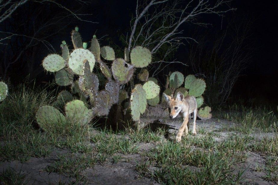 coyote pup-2