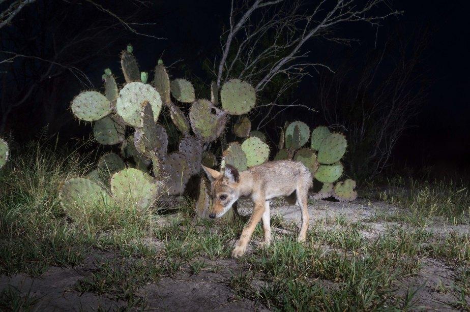 coyote pup-3