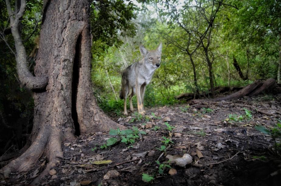 Coyote and Raccoons Under aHackberry